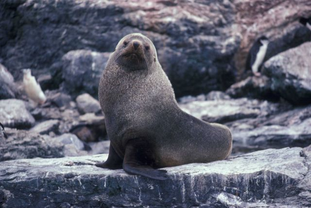 Antarctic fur seal, South Shetland Islands. Picture