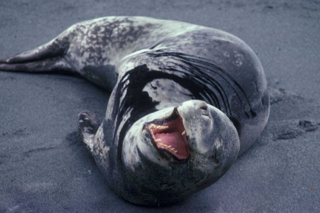 Leopard seal, Seal Island, Antarctica. Picture