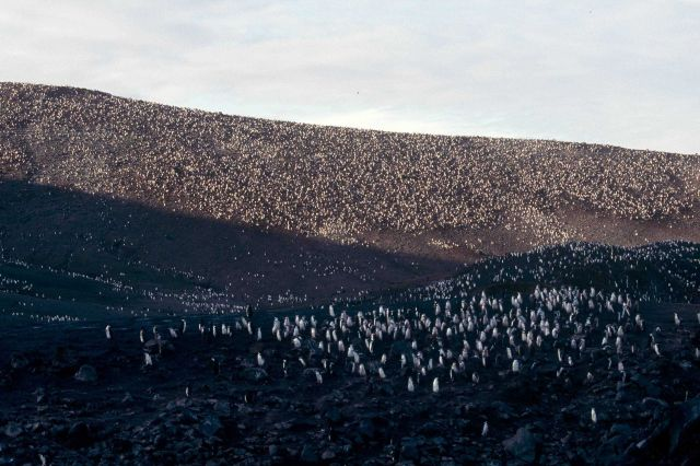 A chinstrap penguin colony, King George Island. Picture