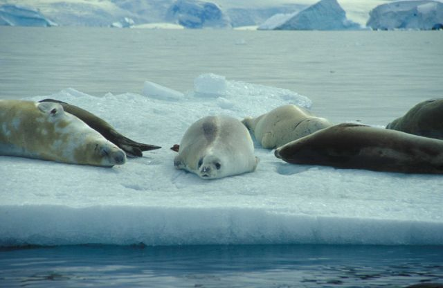 Crabeater seals on an ice floe, South Shetland Islands. Picture