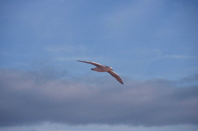 A southern giant petrel in flight, South Shetland Islands, Antarctica. Picture