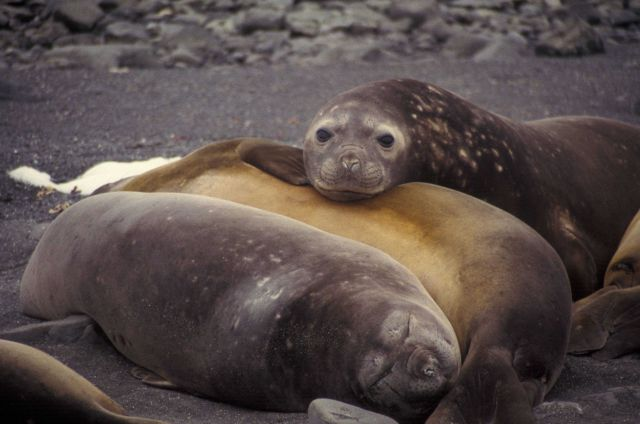 Female southern elephant seals, South Shetland Islands, Antarctica. Picture