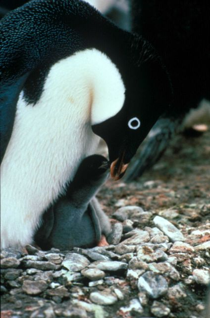 An Adelie penguin feeding its chick. Picture