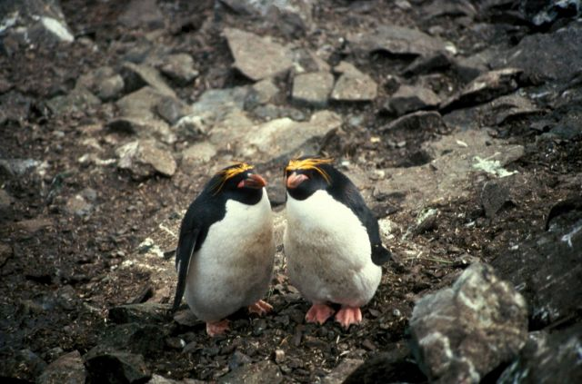 A pair of macaroni penguins, South Shetland Islands, Antarctica. Picture