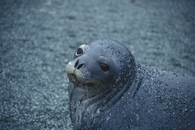 A Weddell seal . Picture