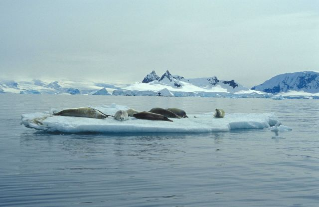 A group of crabeater seals on an ice floe. Picture