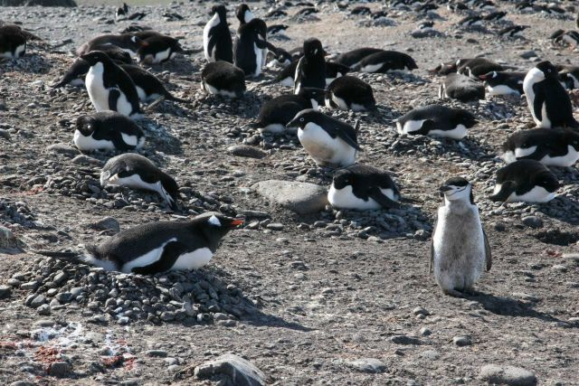 All three study species of penguins at the Copacabana field station on King George Island. Picture
