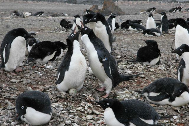 Adelie penguins nest relief. Picture