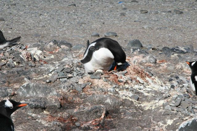 Gentoo penguins incubating eggs. Picture