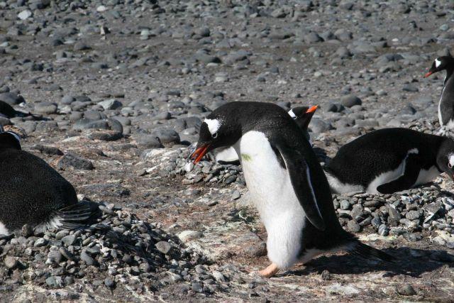 Gentoo penguin building pebble nest. Picture