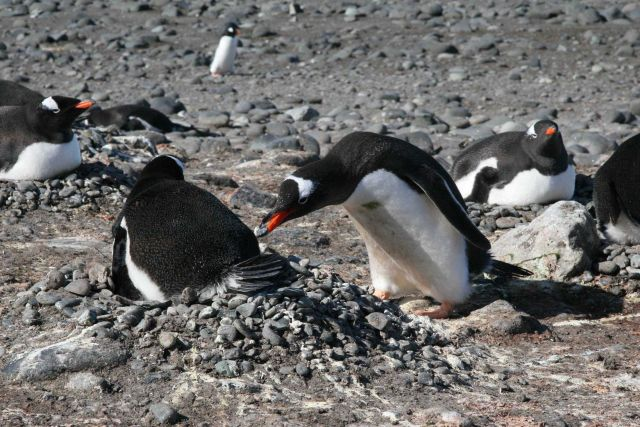 Gentoo penguin stealing pebbles from another penguin nest. Picture