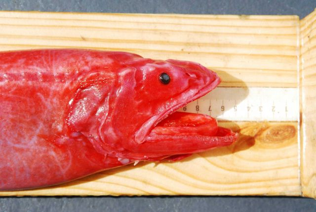 Velvet whalefish (Barbourisia roufa) Picture