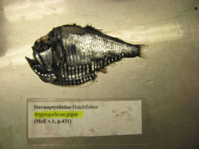 The giant hatchetfish (Argyropelecus gigas) Picture