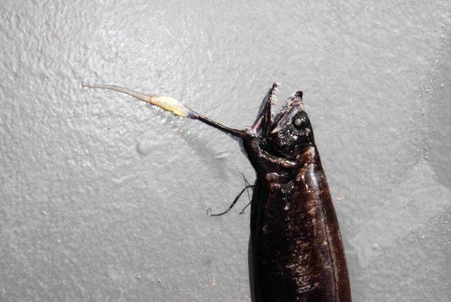 Barbate dragonfish? (Eustomias enbarbatus?) Picture
