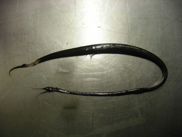 Boxer snipe eel (Nemichthys curvirostris) Picture