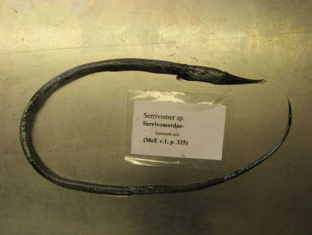 Sawtooth eel (Serrivomer sp.) Picture