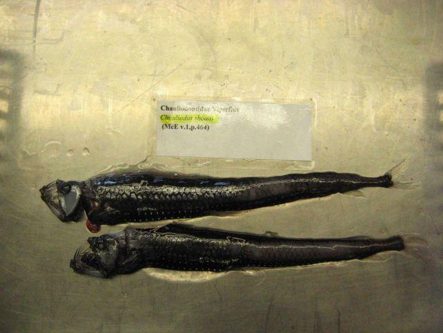 Viperfish (Chauliodus shoani) Picture