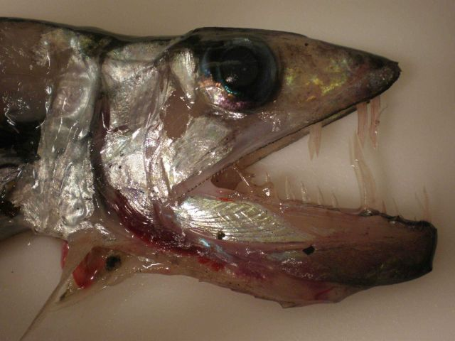 Fearsome looking unidentified deep sea fish Picture