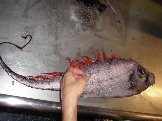 Scalloped ribbonfish (Zu cristatus) Picture