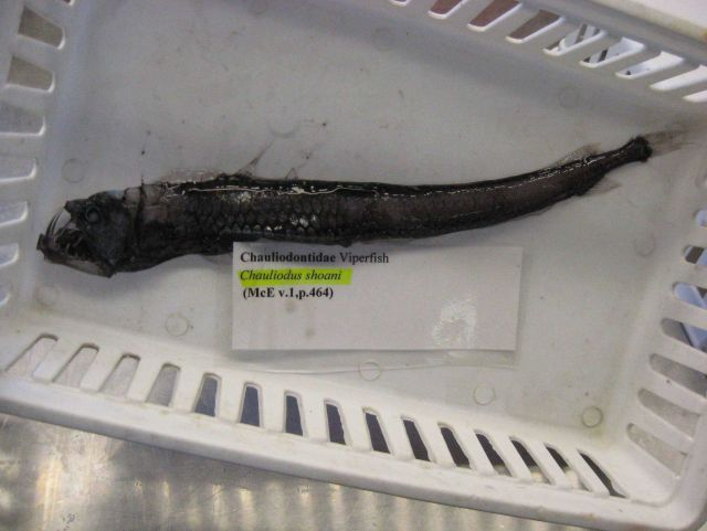 Viperfish (Chauliodus shoani) Picture