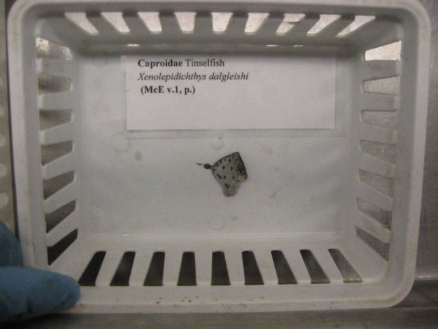 Spotted tinselfish (Xenolepidichthys dalgleishi) in sorting tray Picture