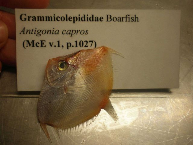 Boarfish (Antigonia capros) Picture