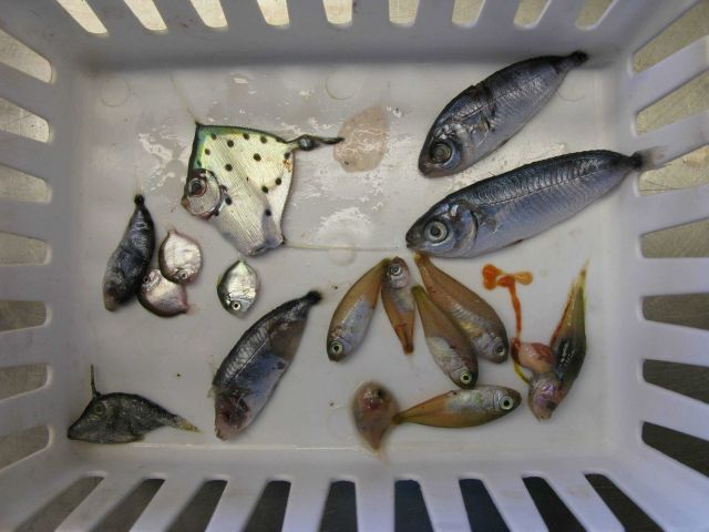 Sorting bin of various deep sea fish captured during trawl surveys Picture