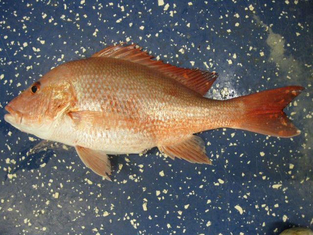 Red snapper (Lutjanus campechanus) Picture