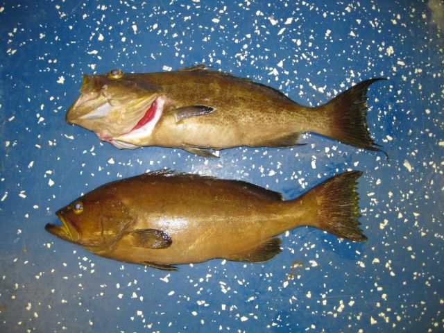 Top - scamp grouper (Mycteroperca phenax) Picture