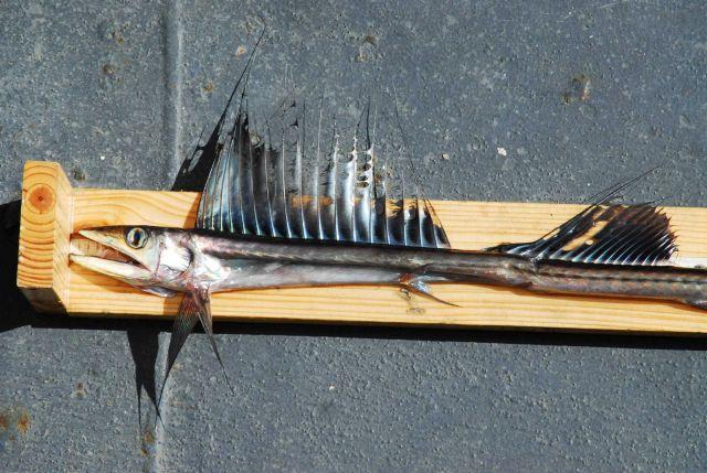 Lancetfish (Alepisaurus ferox) Picture