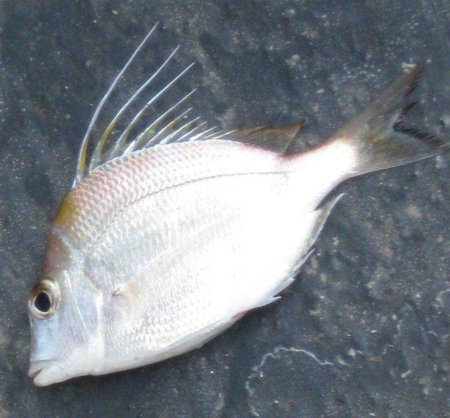 Longspine porgy (Stenotomus caprinus) Picture