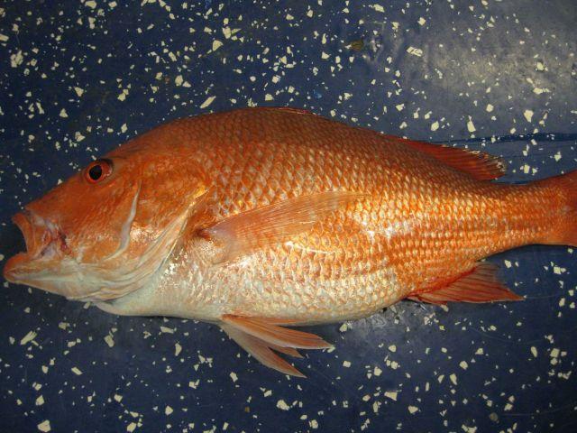 Red snapper (Lutjanus campechanus) Picture