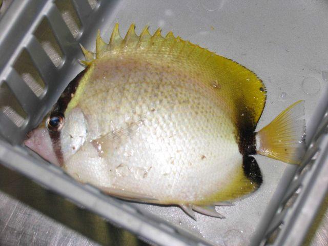 Reef butterflyfish (Chaetodon sedentarius) Picture
