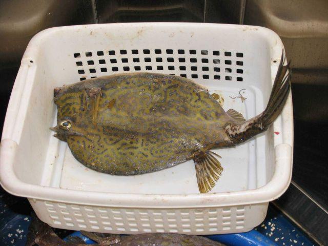 Scrawled cowfish (Acanthostracion quadricornis) Picture