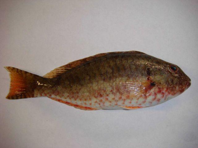 Tilefish? (Lopholatilus? sp.) Picture