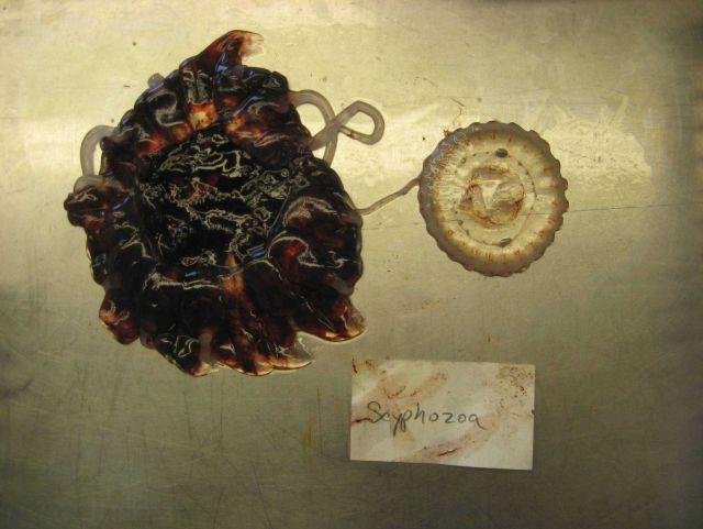 Cnidarian Class Scyphozoa, a jellyfish. Picture