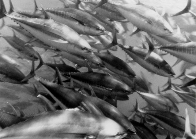 Yellowfin tuna Picture