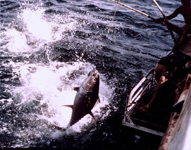 Landing a yellowfin tuna aboard the BCF research vessel UNDAUNTED Picture