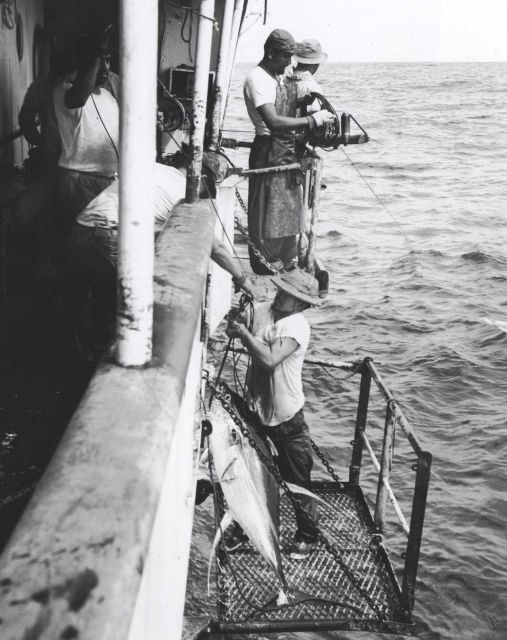 Yellowfin tuna being hauled aboard Picture
