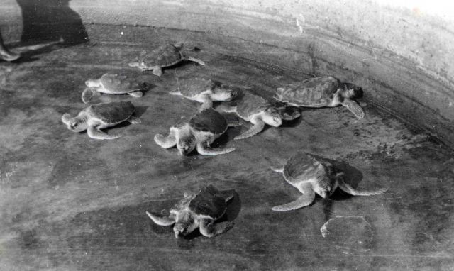 Loggerhead turtles 4 years old. Picture