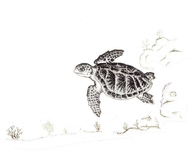 Drawing of Kemp's Ridley sea turtle Picture