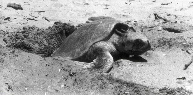 Sea Turtle on the beach Picture