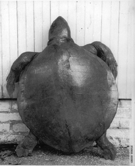 Full grown green sea turtle Picture