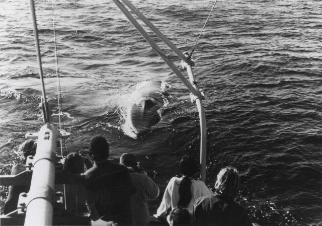 Minke whale (Balaenoptera acutorostata) Picture