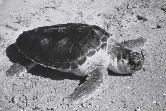 Loggerhead turtle on the beach Picture