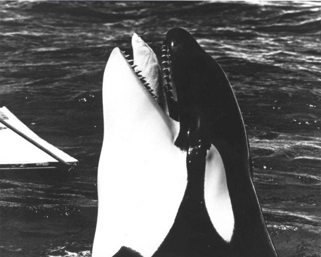 Killer whale Picture