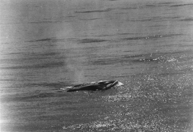 Fin whale (Balaenoptera physalus) Picture