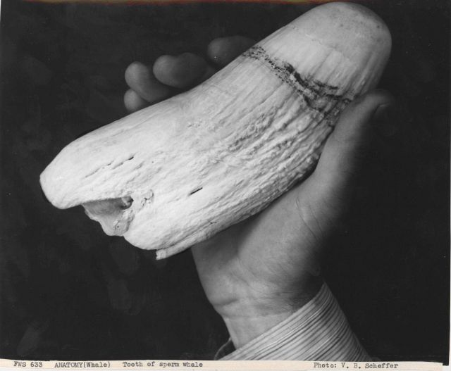 Tooth of sperm whale Picture