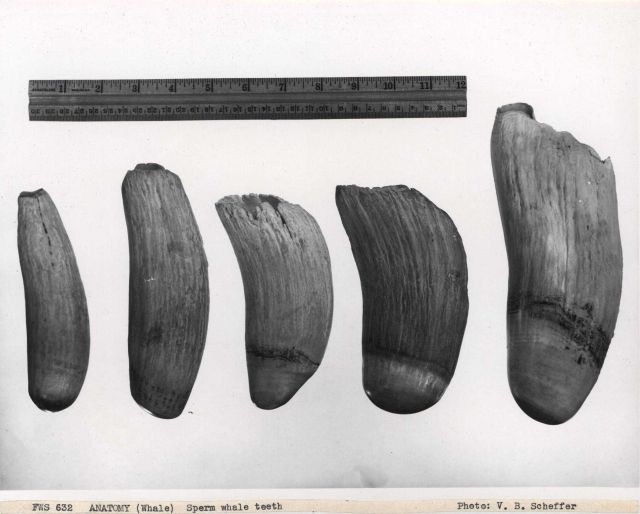 Sperm whale teeth Picture