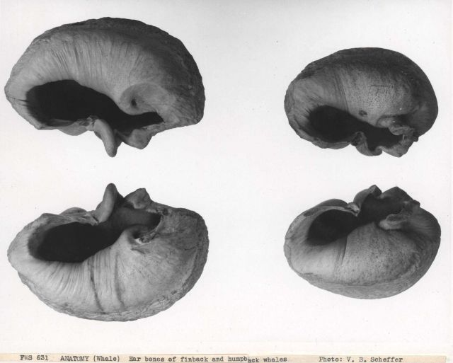 Ear bones of finback and humpback whales Picture